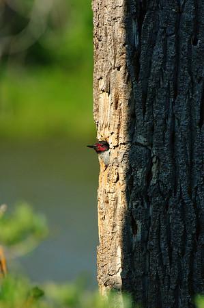 Lewis' Woodpecker-1966