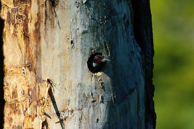 Lewis' Woodpecker-1970