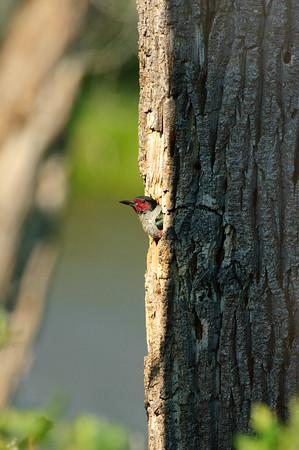 Lewis' Woodpecker-1954