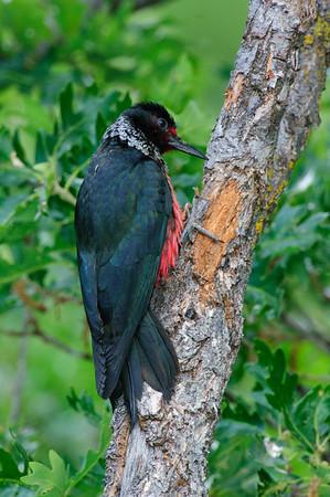Lewis' Woodpecker-1630