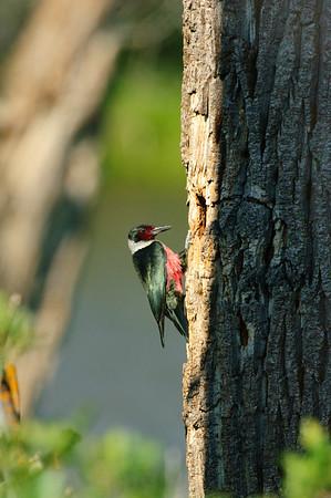 Lewis' Woodpecker-1962