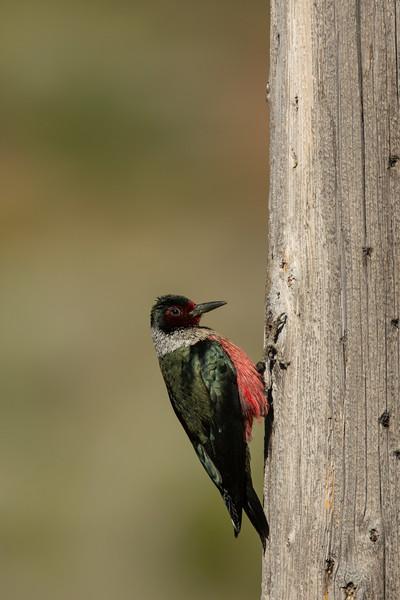 Lewis' Woodpecker - CA, USA