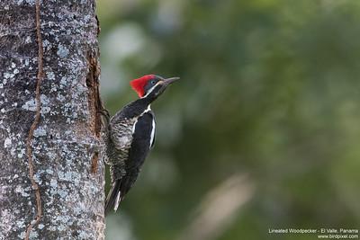 Lineated Woodpecker - El Valle, Panama