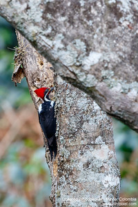 Lineated Woodpecker - Minca, Colombia