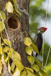 Lineated Woodpecker - Amazon, Ecuador