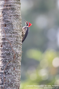 Lineated Woodpecker - El Valle, Panama