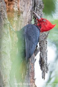 Magellanic Woodpecker - Tierra del Fuego NP, Argentina