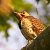 Northern Flicker in Early Morning Light