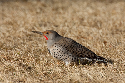 Northern Flicker-176
