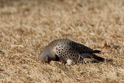Northern Flicker-169