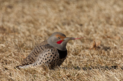 Northern Flicker-143