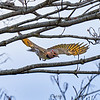 Northern Flicker swoops down from a branch.