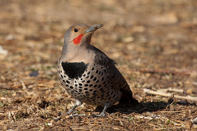 Northern Flicker-242