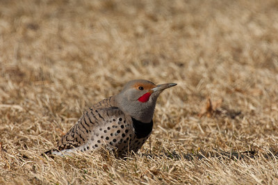 Northern Flicker-145