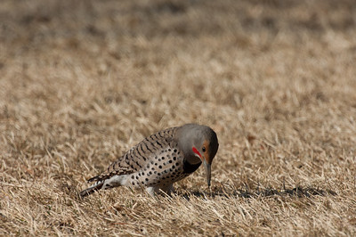 Northern Flicker-167