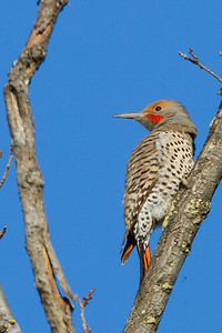 Northern Flicker - Ed Levin Park, Milpitas, CA