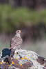 Northern Flicker - Kyburz Flats, Off Hwy 89, CA, USA