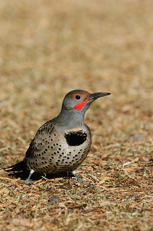 Northern Flicker-235