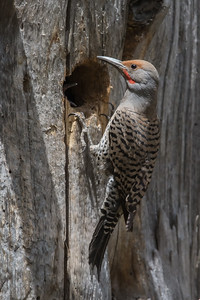 Northern Flicker - Male - Sierra Valley & vicinity, CA, USA
