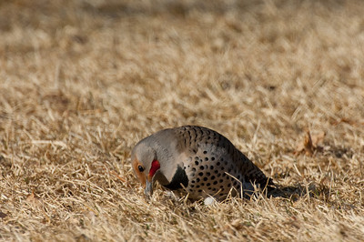 Northern Flicker-172
