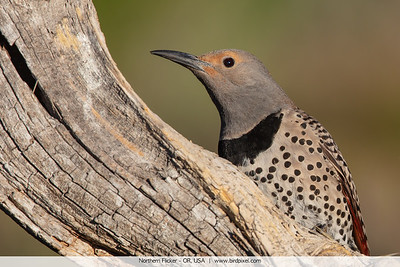 Northern Flicker - OR, USA