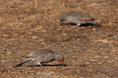 Northern Flicker-180-2