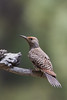 Northern Flicker - Female - Sierra Valley & vicinity, CA, USA