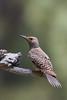 Northern Flicker - Female - Sierra Valley & vicinity, CA, USA
