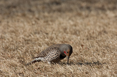 Northern Flicker-168
