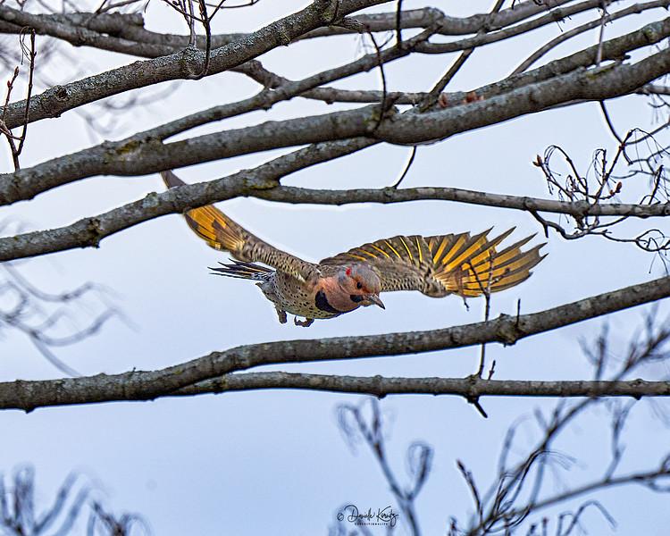 Northern Flicker in Flight (Colaptes auratus)
