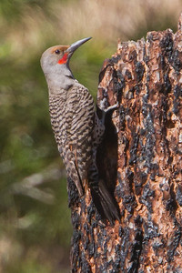 Northern Flicker - Loyalton, CA, USA