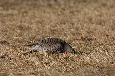 Northern Flicker-129