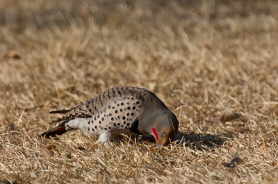 Northern Flicker-177-2