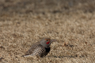 Northern Flicker-142