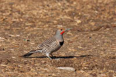 Northern Flicker-197