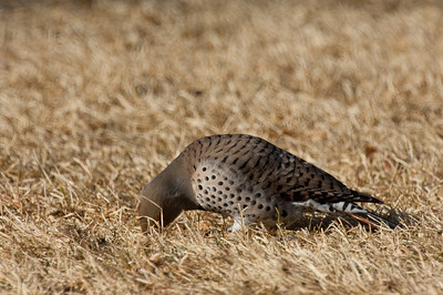 Northern Flicker-175
