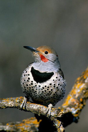 Northern Flicker-102