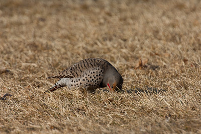 Northern Flicker-130