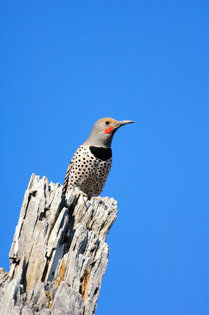 Northern Flicker-105