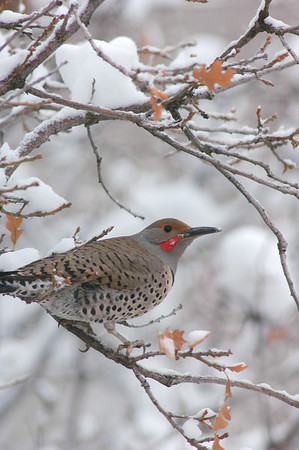 Northern Flicker-104