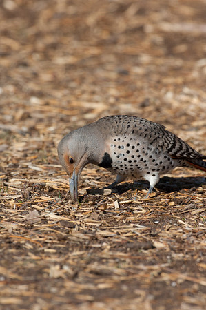 Northern Flicker-221