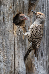 Northern Flicker female feeding chicks - Sierra Valley & vicinity, CA, USA