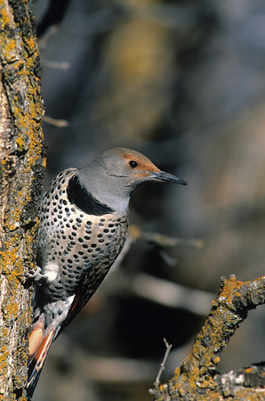 Northern Flicker-103