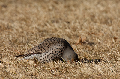 Northern Flicker-146