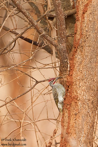 Nubian Woodpecker - Tarangire National Park, Tanzania