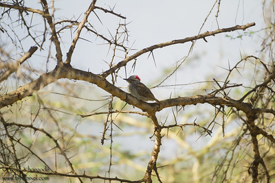 Female Nubian Woodpecker - Arusha National Park, Tanzania