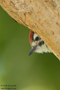 Nutall's Woodpecker - San Jose, CA, USA