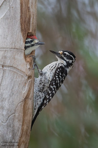 Nuttall's Woodpecker - Santa Clara, CA, USA