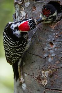 Nuttall's Woodpecker - Sunol-Ohlone Regional Wilderness, Sunol, CA, USA