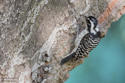 Nuttall's Woodpecker - Los Altos, CA, USA